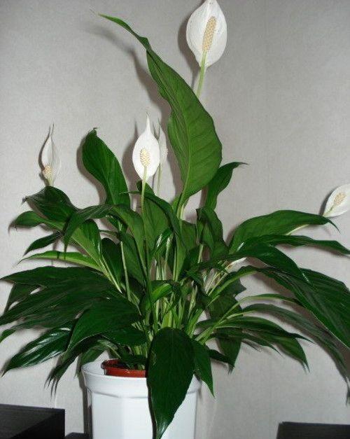 Спатифиллум лат spatiphyllum