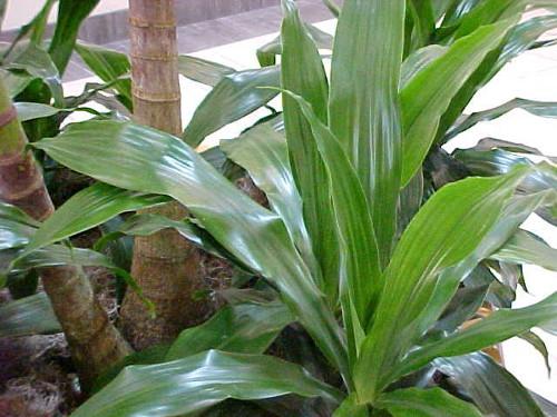 Аспидистра (Чугунное растение) лат. Aspidistra