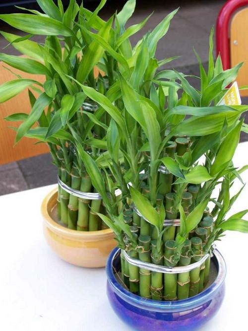 Бамбук лат. Bambusa