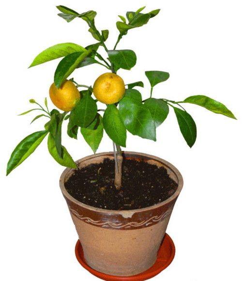 Мандарин лат. Citrus unshiu