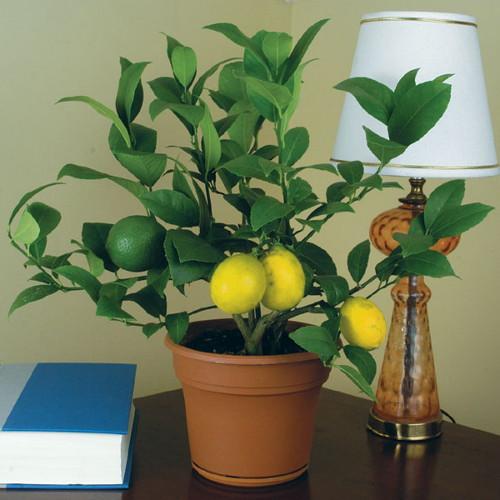 Лимон лат. Limon