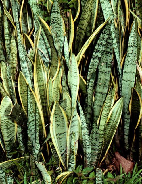Сансевиерия (Тещин язык) лат. Sansevieria
