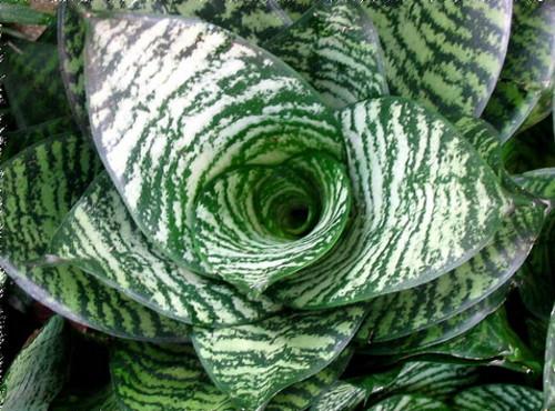 Комнатный цветок с пестрыми листьями 139