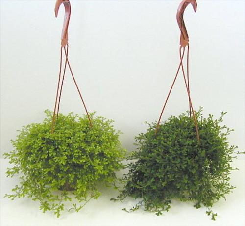 Селагинелла лат. Selaginella