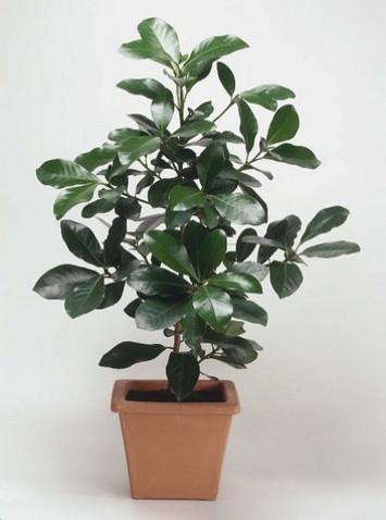 Коринокарпус лат. Corynocarpus