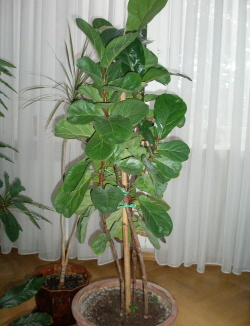 Фикус лат. Ficus