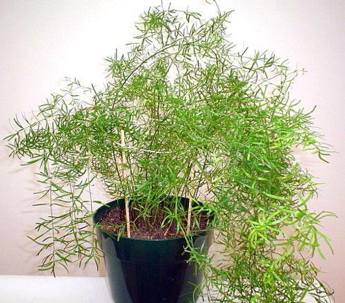 Аспарагус (Спаржа) лат. Asparagus