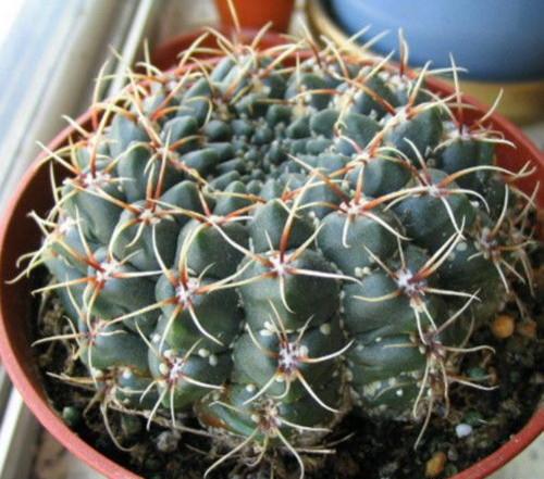 кактусовая щитовка