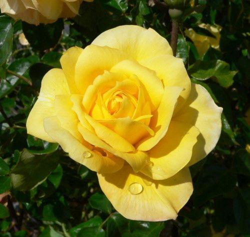 Роза лат. Rosa