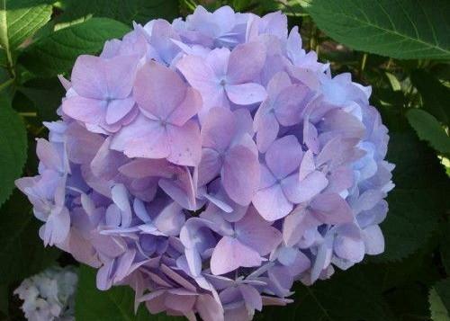 Гортензия крупнолистная, или садовая
