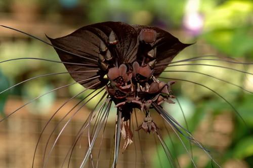 Цветок дьявола такка летучая мышь