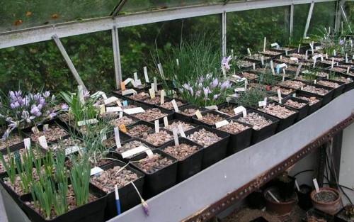 Агротехника луковичных культур