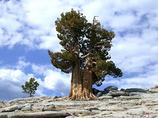 Сосна Мафусаил — самый старый живой организм на планете